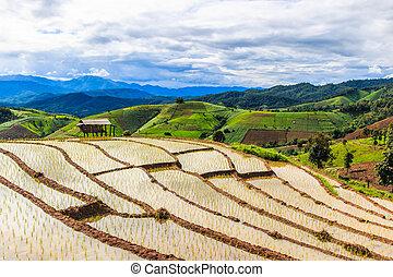 -, campi, peang, tailandia, asia, risaia, mai, papà, chiang, riso, pong