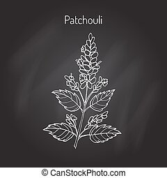 -, pachouli, pianta aromatica, medicinale