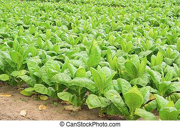29, tabacco, coltivato