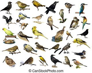 (35), bianco, uccelli, isolato