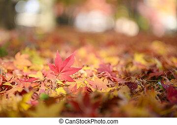 acero, foglie rosse