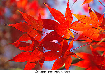 acero rosso, leaves.
