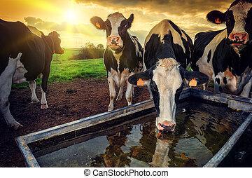 acqua, bere, vitelli, giovane, gregge