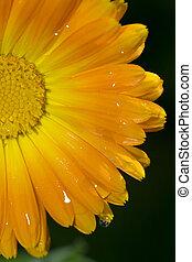 acqua, esso, gerbera, fiore, immagine, gocce