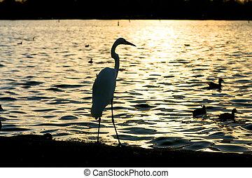 acqua, tramonto, sopra, airone, silhouette