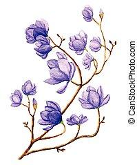 acquarello, magnolia, fiore
