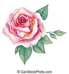acquarello, rosa, vettore, rosa