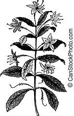 agathosma, barosma, vendemmia, foglie, crenulata, crenulata, pianta, o, engraving.