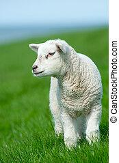 agnello, carino, primavera
