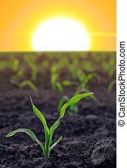 agricolo, granaglie, aumentare, zona
