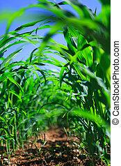 agricolo, granaglie, field., fila