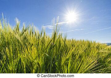 agricoltura, campo frumento