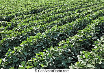agricoltura, campo, soia, pianta