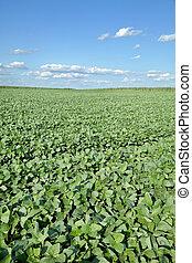 agricoltura, soia, campo