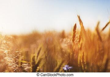 agricoltura, sunset., concept., raccogliere, campo, frumento