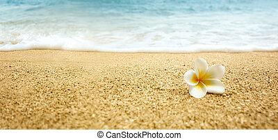 alba, plumeria, spiaggia, frangipani), sabbioso, (white