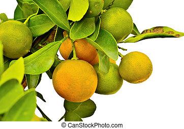 albero, arance, maturo, appendere