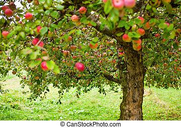 albero, frutteto mela