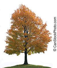 albero grande, isolato, acero, solo