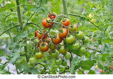 albero, pomodori, appendere