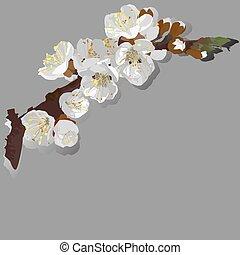 albicocca, fioritura, vettore