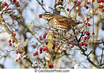 alimentazione, iliacus, dicembre, redwing, turdus, uccello, bacche, singolo, biancospino, gelido, 2010, midlands