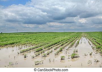 alluvionato, agricoltura, soia, campo