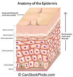 anatomia, 3d, epidermide