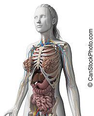 anatomia, femmina