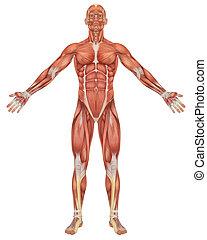 anatomia, fronte, maschio, muscolare, vista