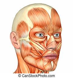 anatomia, maschio, faccia