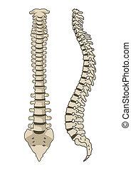 anatomia, spina, vettore, sistema, umano
