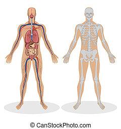 anatomia, umano, uomo