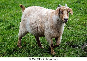 animali fattoria, -, goat