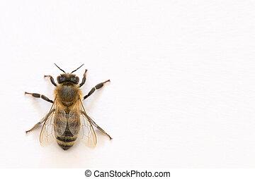 ape, bianco, isoalted, fondo