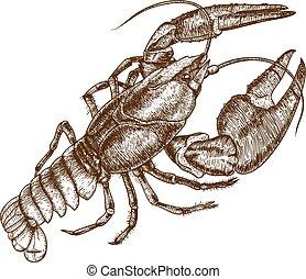 aragosta, illustrazione, uno
