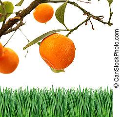arancio, ramo