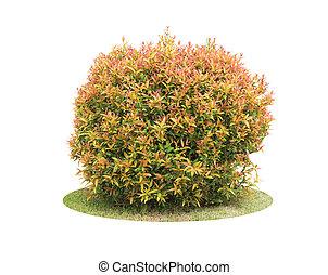 arbusto, colorito, piccione, sopra, albero, isolato, bacca, fondo, bianco