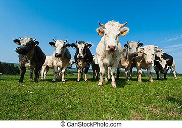ardennes, mucche, terreno coltivato