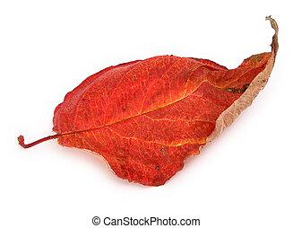 asciutto, foglia autunno, #2