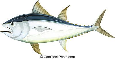 atlantico, tonno, bluefin