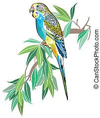 australiano, parakeet