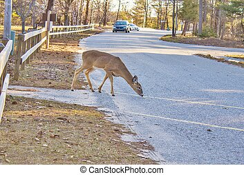 automobile, cervo, collisione