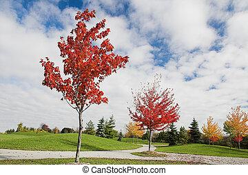 autunno, acero, giovane, albero