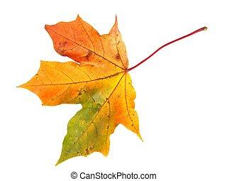 autunno, bianco, foglia