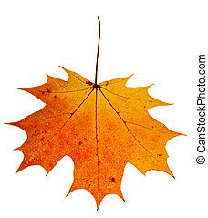 autunno, maple-leaf