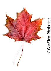 autunno, permesso, caduto, acero