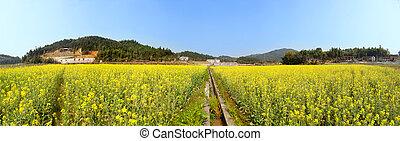 azzurramento, panoramico, paesaggio, campo, primavera, bello, fossa, fiore, canola, colpo