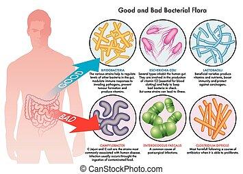batterico, flora, intestinale