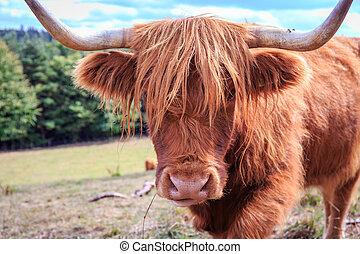 bello, altopiano, scozzese, bestiame